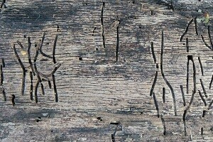 Holzwurmbekämpfung Hausbockbekämpfung Holzwurm Hausbock bekämpfen beseitigen Allessauber Kim Schädlingsbekämpfung