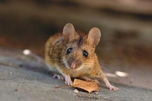 Mäuse Allessauber Kammerjäger Schädlingsbekämpfung