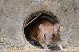 Mäusekot entfernen Allessauber Kim