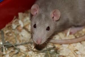 Rattenbekämpfung Ratten bekämpfen Rattenabwehr Gift Allessauber Kammerjäger Schädlingsbekämpfung